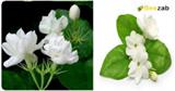 ต้นมะลิ ดอกมะลิ สมุนไพร สมุนไพรไทย