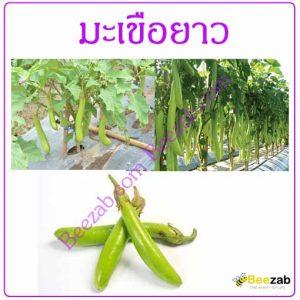 มะเขือยาว ผลมะเขือยาว สมุนไพร สรรพคุณของมะเขือยาว
