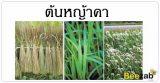 หญ้าคา ต้นหญ้า สมุนไพร สรรพคุณของหญ้าคา