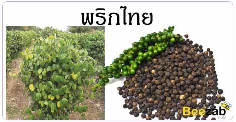 พริกไทย สมุนไพร สรรพคุณของสมุนไพร สมุนไพรไทย