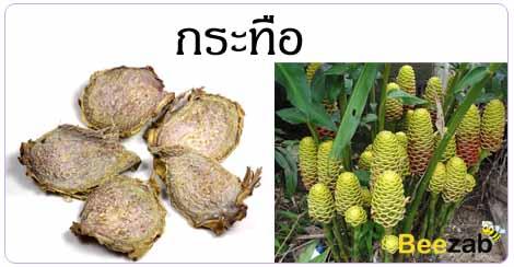 กระทืือ สมุนไพร สรรพคุณของกระทืือ สมุนไพรไทย