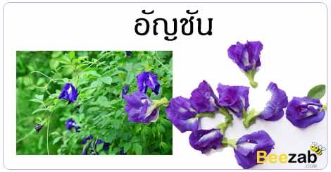 อัญชัน สมุนไพร ดอกไม้ สรรพคุณของอัญชัน