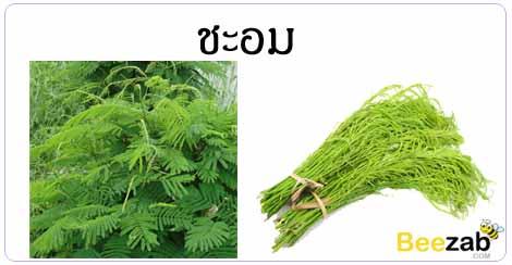 ชะอม สมุนไพร พืชพื้นบ้าน สรรพคุณของชะอม