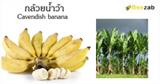 กล้วยน้ำว้า กล้วย สมุนไพร ประโยชน์ของกล้วย