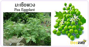 มะเขือพวง สมุนไพร พืชสวนครัว ประโยชน์ของมะเขือพวง