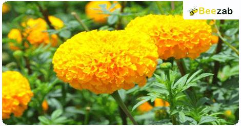 ดาวเรือง ดอกไม้ สมุนไพร สมุนไพรไทย