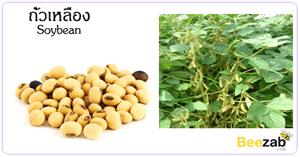 ถั่วเหลือง สมุนไพร พืชตระกลูถั่ว ประโยชน์ของถั่วเหลือง