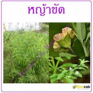 หญ้าขัด หญ้าขัดมอญ สมุนไพร สรรพคุณของหญ้าขัด