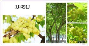 ต้นมะยม มะยม สรรพคุณของมะยม สมุนไพร