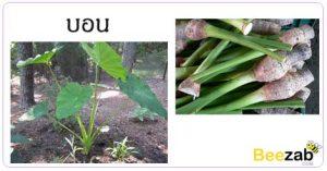 บอน ต้นบอน สรรพคุณของบอน สมุนไพร