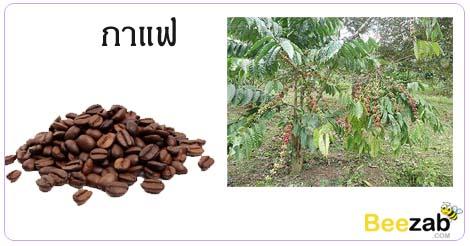 ต้นกาแฟ กาแฟ สรรพคุณของกาแฟ ประโยชน์ของกาแฟ