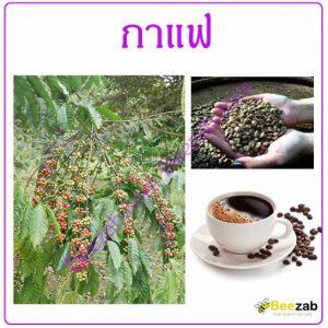 ต้นกาแฟ เมล็ดกาแฟ สมุนไพร สรรพคุณของกาแฟ