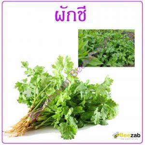 ผักชี ต้นผักชี สมุนไพร ผักสวนครัว