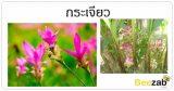 ต้นกระเจีียว ดอกกระเจียว สรรพคุณของกระเจียว ประโยชน์ของกระเจียว
