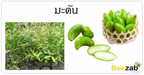 มะดัน ต้นมะดัน สรรพคุณของมะดัน ประโยชน์ของมะดัน