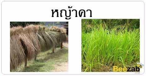 หญ้าคา สมุนไพร สมุนไพรไทย สรรพคุณของหญ้าคา