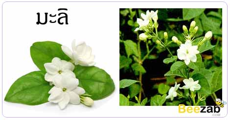 มะลิ ดอกไม้ สมุยไพร สรรพคุณของมะลิ