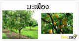 มะเฟือง ผลไม้ สมุนไพร สรรพคุณของมะเฟือง